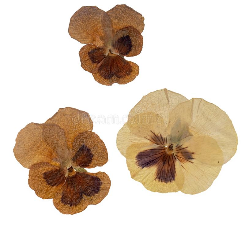 Free Genuine Old Pressed Pansy Flowers Isolated On White Background. Royalty Free Stock Photography - 168111347