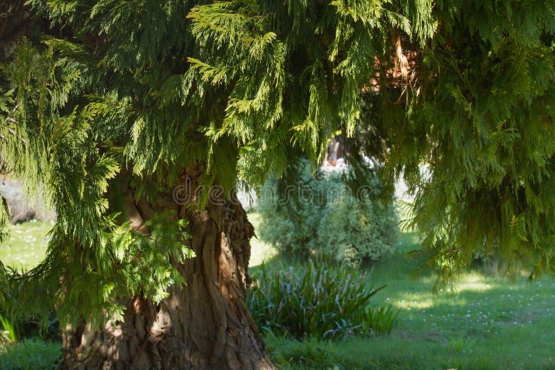 A Cypress tree in Croatia royalty free stock photo