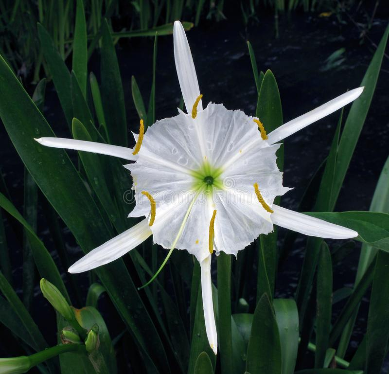 Hymenocallis flower also known as spider lily close-up view. The genus Hymenocallis is native to the New World, occurring from the lower Mississippi Valley and royalty free stock photo