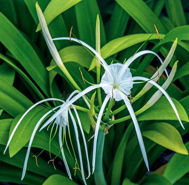 Hymenocallis flower also known as spider lily close-up view. The genus Hymenocallis is native to the New World, occurring from the lower Mississippi Valley and stock photo