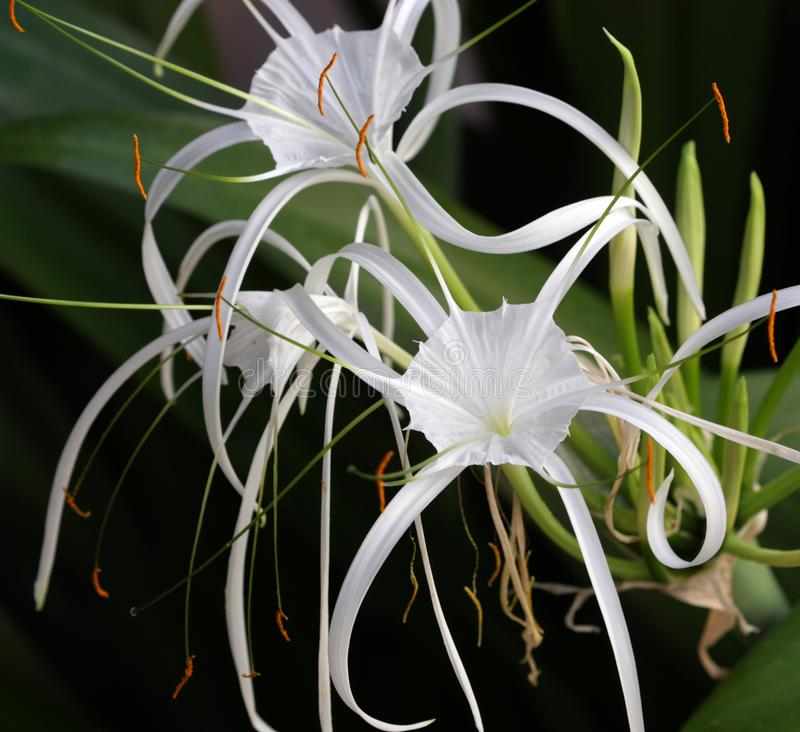 Hymenocallis flower also known as spider lily close-up view. The genus Hymenocallis is native to the New World, occurring from the lower Mississippi Valley and royalty free stock photography