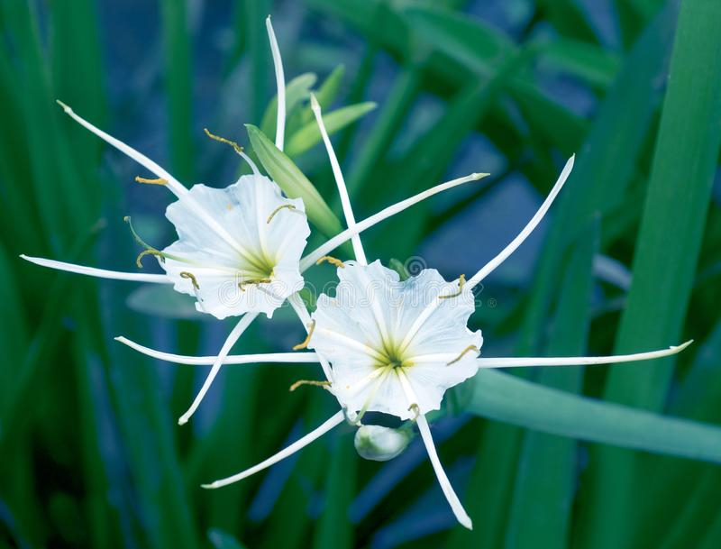 Hymenocallis flower also known as spider lily close-up view. The genus Hymenocallis is native to the New World, occurring from the lower Mississippi Valley and stock image