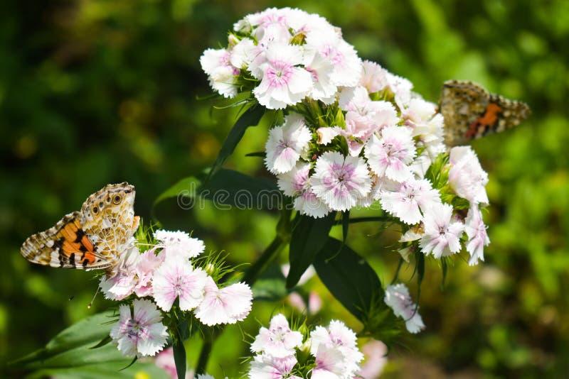 Genutia del Danaus, el tigre común que se sienta en la flor en el jardín La macro del primer diseñó la fotografía común de colori foto de archivo