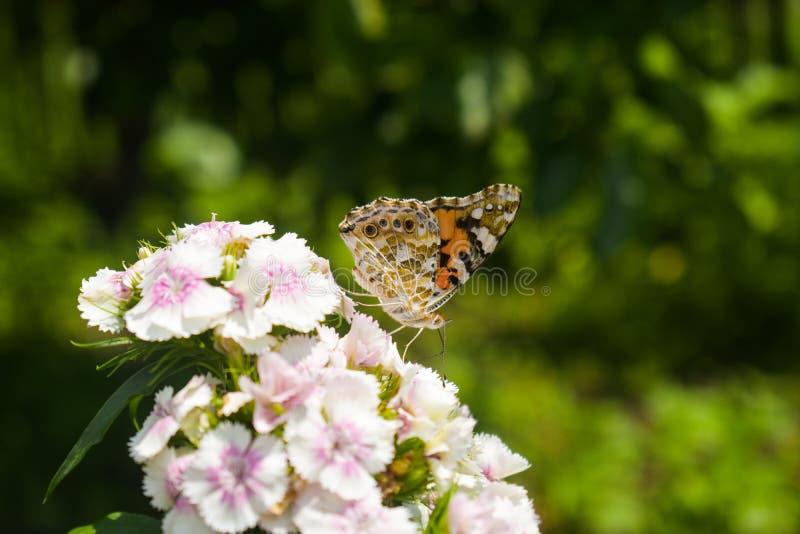 Genutia del Danaus, el tigre común que se sienta en la flor en el jardín La macro del primer diseñó la fotografía común de colori imagen de archivo