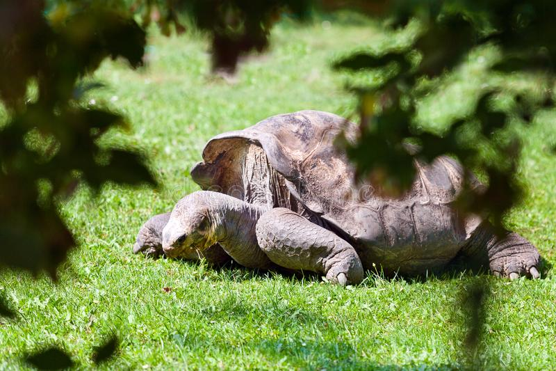 Geochelone nigra powikłany Galapagos tortoise/, zoologiczny ogród, Troja okręg, Praga, republika czech fotografia stock