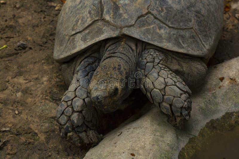 Geochelone sulcata in zoo Nearly extinct living organisms. stock photos