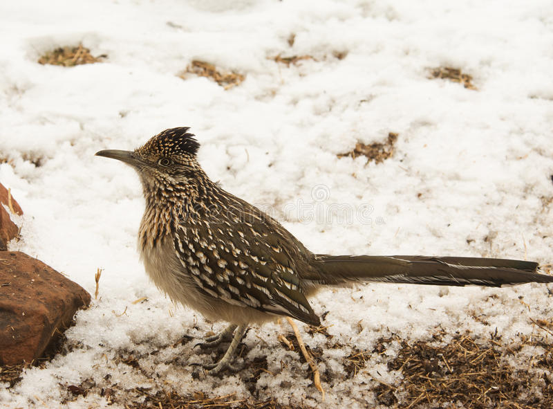 Geococcyx californianus, Greater Roadrunner sitting in snow stock photo