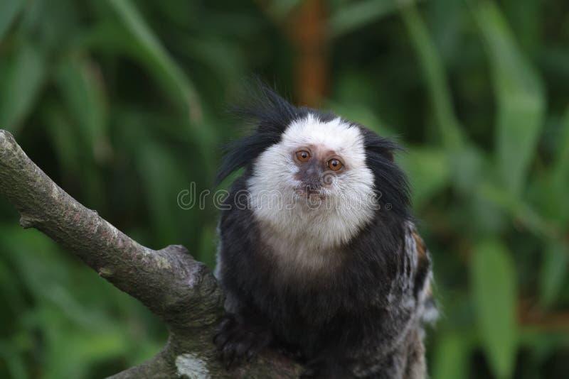 Geoffroy的小猿 免版税库存图片
