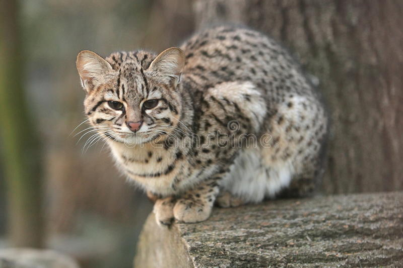 Download Geoffroy Cat Royalty Free Stock Photos - Image: 28410778