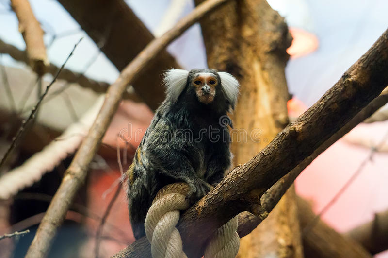 Geoffroy`s marmoset - Monkey sitting on rope stock photos