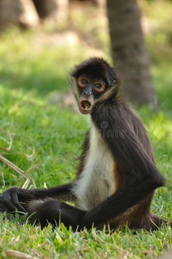Geoffroy s Spider Monkey (Ateles geoffroyi) Eating
