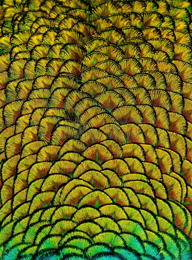 Geometric Patterns And Design In Colorful Peacock Feathers. Peacock colorful feather pattern with geometric shapes in the plumage design of this large beautiful royalty free stock image