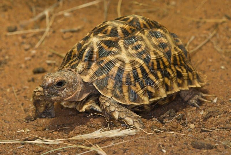 Geometric tortoise royalty free stock image