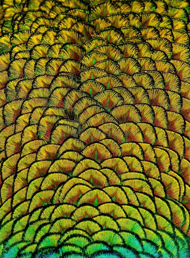 Geometrisk modeller och design i färgrika påfågelfjädrar