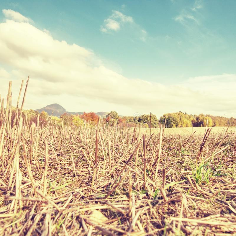 Geoogste landbouwgrond waar de graanoogst een stengel bleef stock fotografie