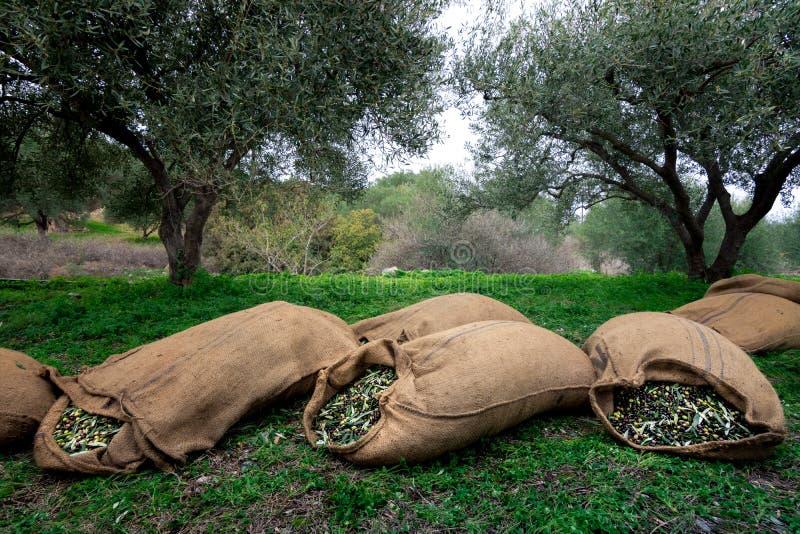 Geoogste verse olijven in zakken op een gebied in Kreta, Griekenland stock foto