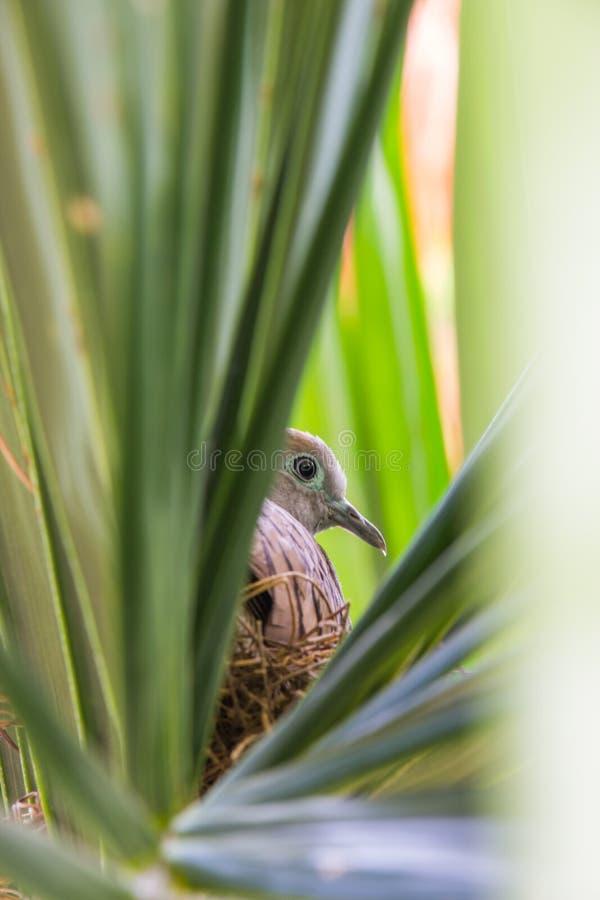 Geopeliastriata en de vogel ` s nestelen op een boom groen in het midden van royalty-vrije stock fotografie