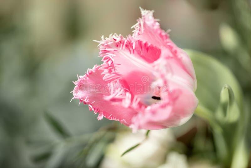 Geopende knop van ongebruikelijke roze tulp Bloem met omzoomd op natuurlijk gebladerte groene achtergrond De stemming van de lent royalty-vrije stock foto