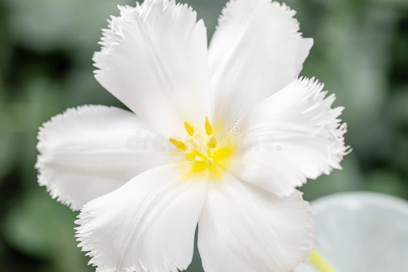 Geopende knop van ongebruikelijke witte tulp Bloem met omzoomd op natuurlijk gebladerte groene achtergrond De stemming van de len stock foto's