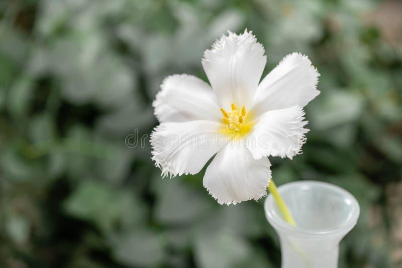 Geopende knop van ongebruikelijke witte tulp Bloem met omzoomd op natuurlijk gebladerte groene achtergrond De stemming van de len royalty-vrije stock foto