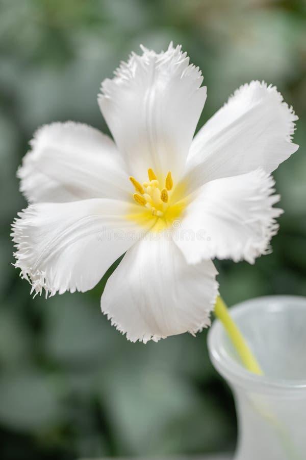 Geopende knop van ongebruikelijke witte tulp Bloem met omzoomd op natuurlijk gebladerte groene achtergrond De stemming van de len stock afbeelding