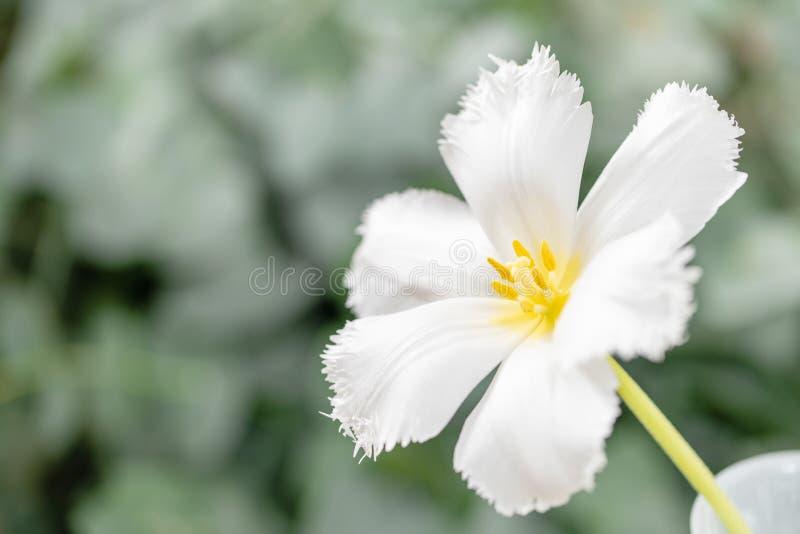 Geopende knop van ongebruikelijke witte tulp Bloem met omzoomd op natuurlijk gebladerte groene achtergrond De stemming van de len stock foto