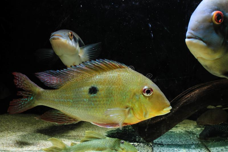 Geophagus Dicrozoster Eartheater Cichlid royalty free stock images