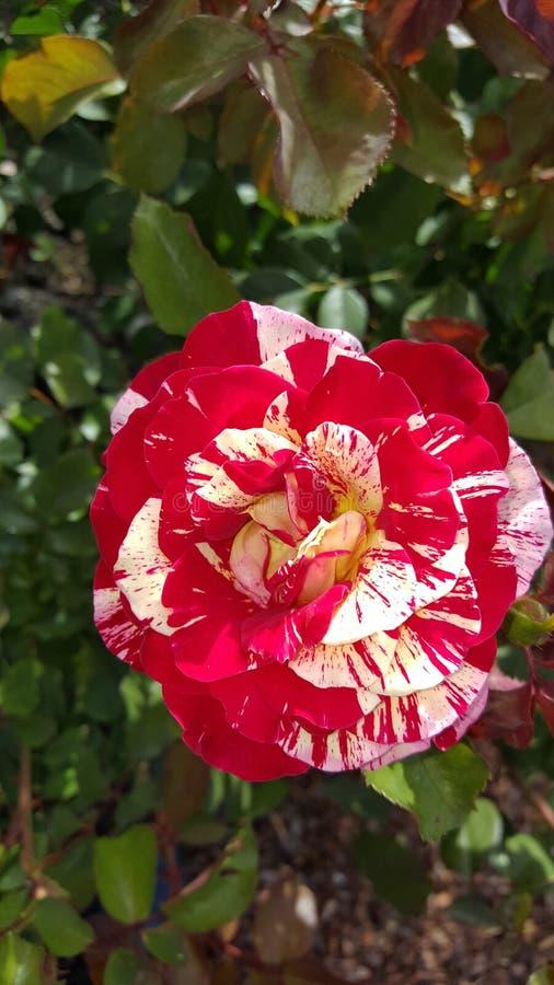George Burns gebrochene Farbpfefferminz gestreifter Floribunda Rose stockfoto