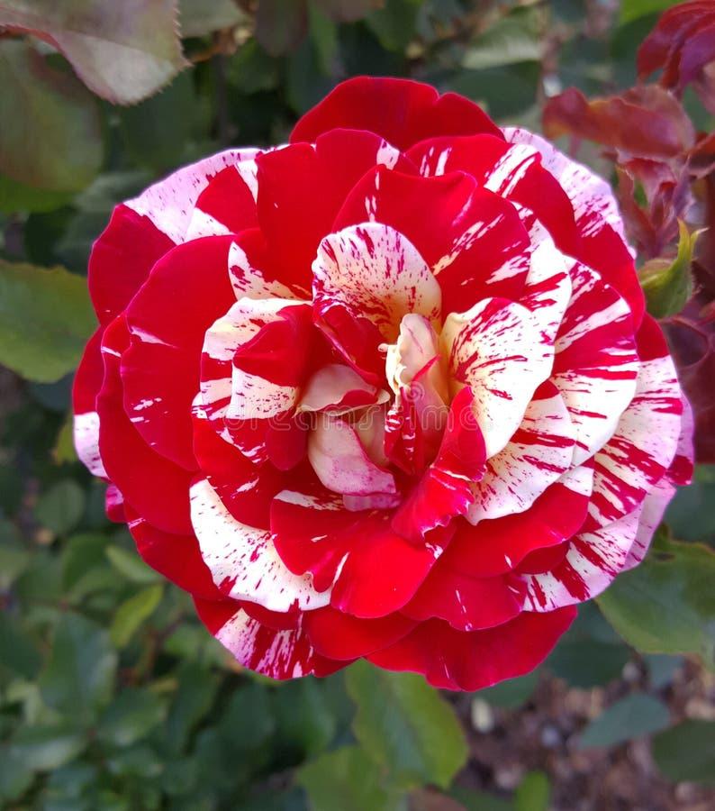 George Burns gebrochene Farbpfefferminz gestreifter Floribunda Rose stockfotografie