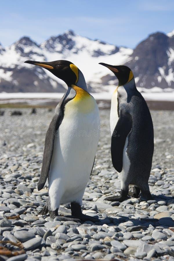 georgia królewiątka pingwinów południe dwa zdjęcia royalty free