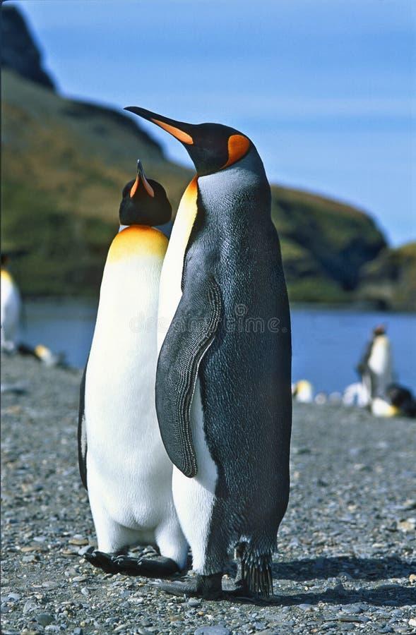 georgia królewiątka pingwiny południowi zdjęcia stock