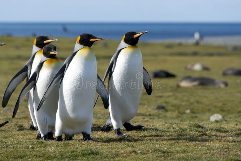 georgia królewiątka pingwiny południowi obrazy royalty free