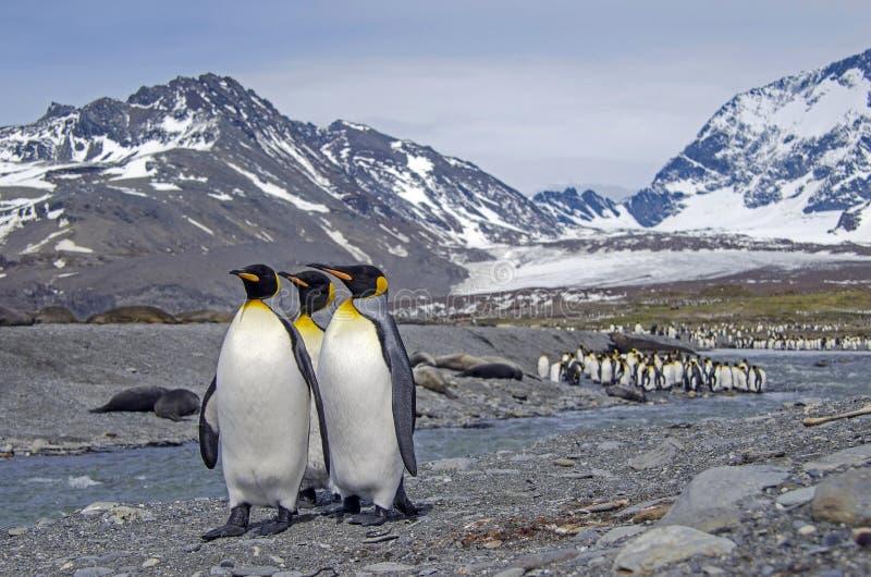 georgia królewiątka pingwiny południowi zdjęcie royalty free