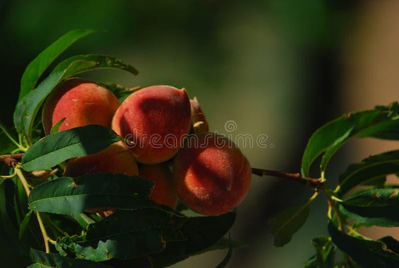 Georgia Peach stock images