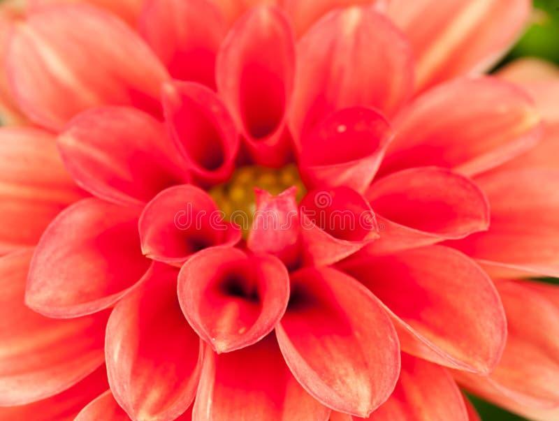 Georgina zdjęcie royalty free