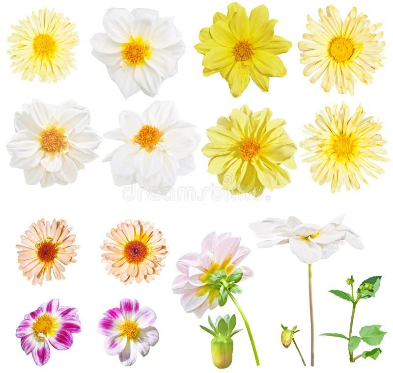 Georgina dalii kwiaty i żółci stokrotka kwiaty Set bielu i koloru żółtego ogródu kwiaty odizolowywający na białym tle fotografia stock