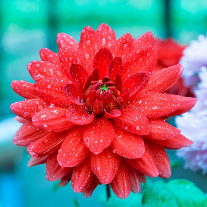 Georgina kwiat fotografia stock