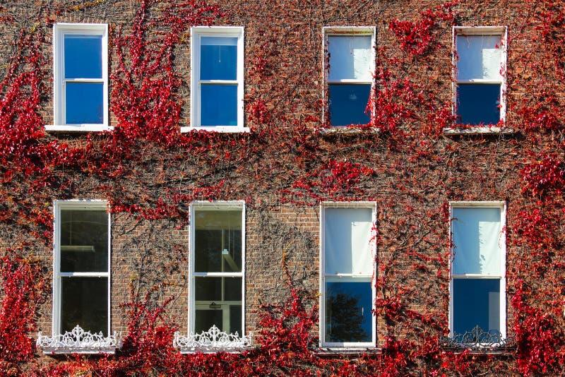 Georgische vensters die door klimop. Dublin.Ireland worden omringd royalty-vrije stock afbeelding