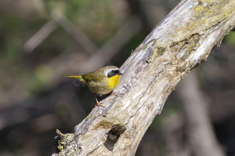 Geothlypistrichas för gemensam yellowthroat på skogen royaltyfri fotografi