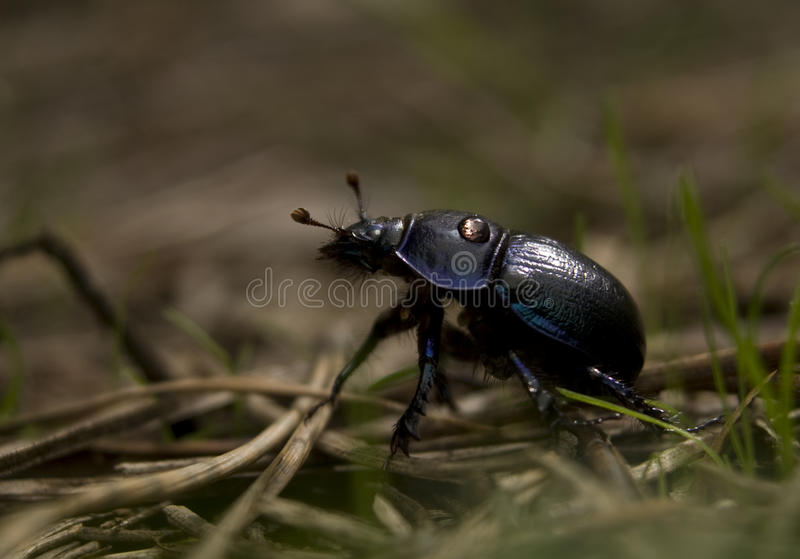 Geotrupes stercorarius stock photography