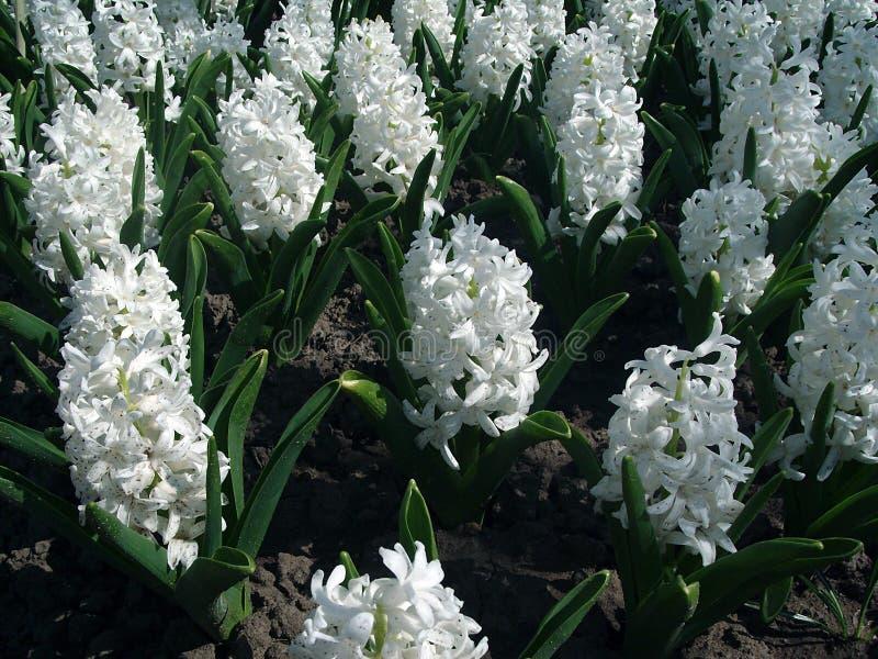 Geotsint del fiore bianco fotografia stock libera da diritti