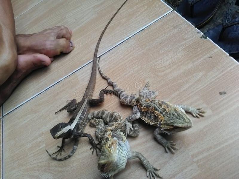Gepaneerde draak & papuan waterdraak royalty-vrije stock foto