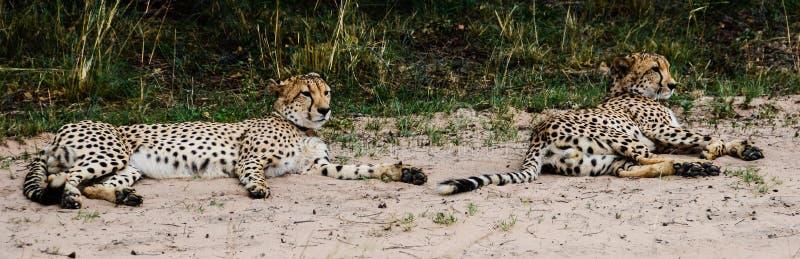 Gepardów rodzeństwa zdjęcia stock