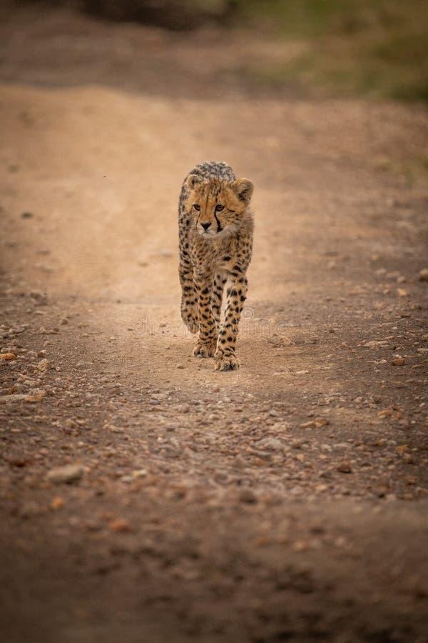 Gepardów spacery zestrzelają skalistą szlakową kręcenie głowę obrazy stock