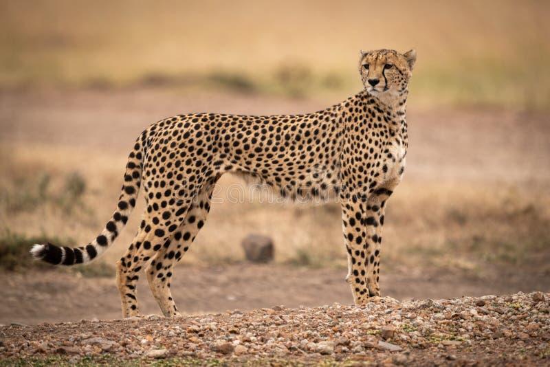 Gepardów stojaki na drogi polnej kręcenia głowie obraz royalty free