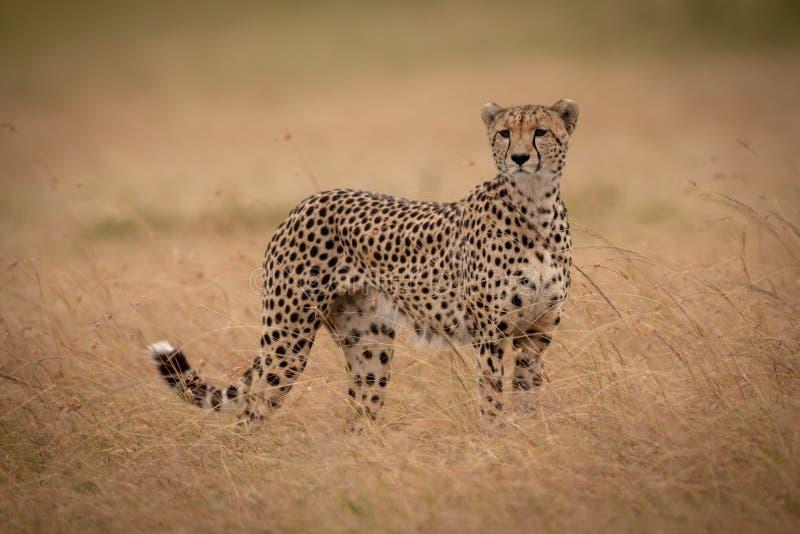 Gepardów stojaki w długiej trawy kręcenia głowie zdjęcie stock