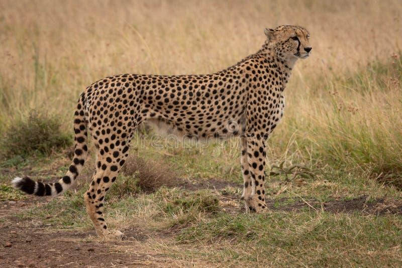 Gepardów stojaki w krótkiej trawy kręcenia głowie fotografia stock