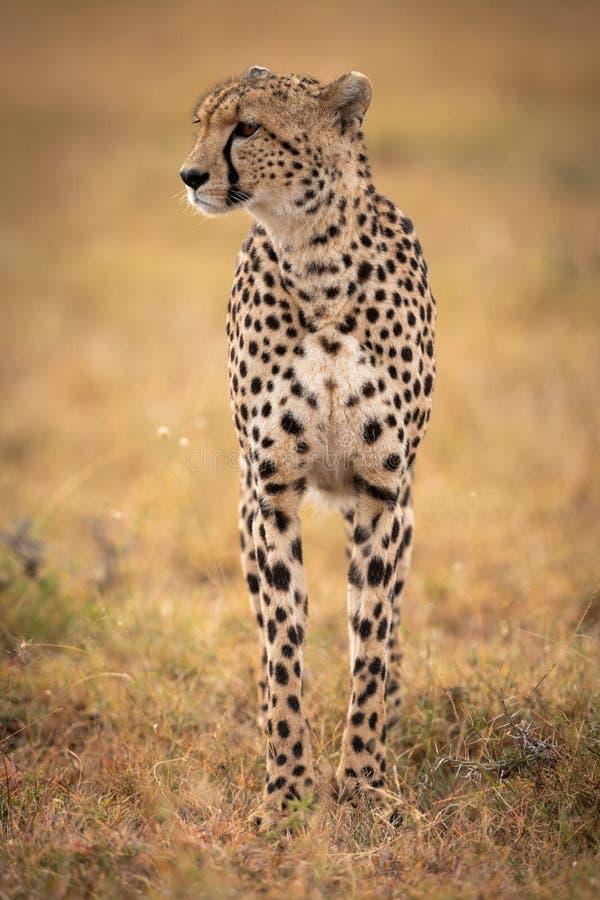 Gepardów stojaki w trawiastej prostej kręcenie głowie zdjęcia royalty free