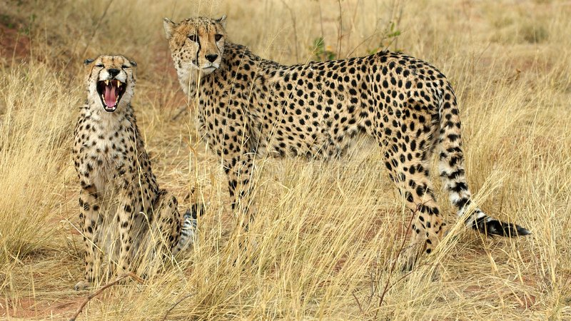 gepardów zęby zdjęcia royalty free