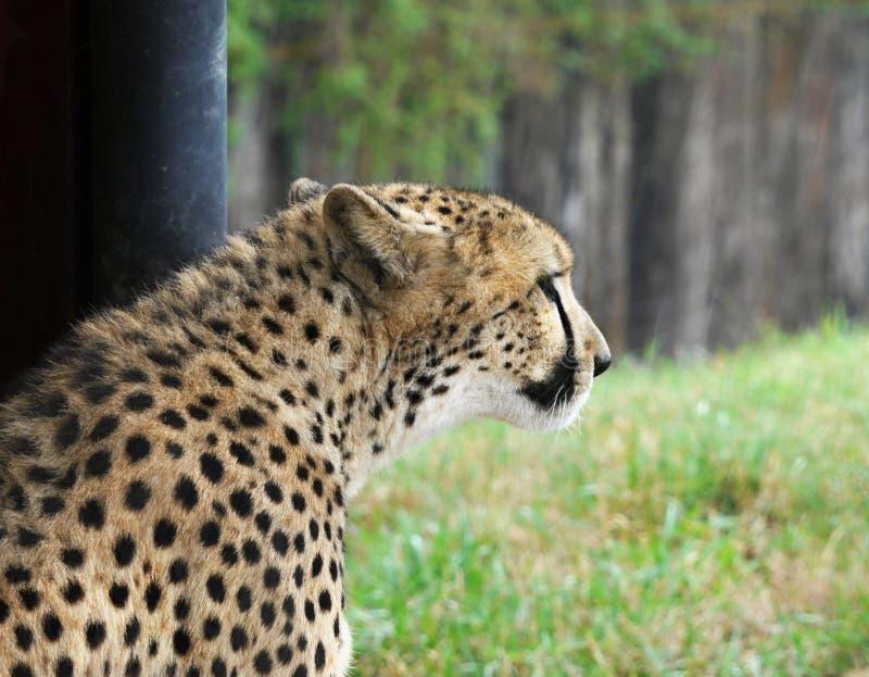 Gepard στοκ φωτογραφία με δικαίωμα ελεύθερης χρήσης